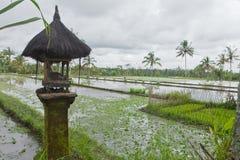 巴厘岛调遣米 库存图片