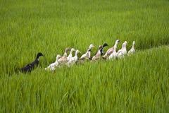 巴厘岛鸭子 库存照片