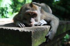 巴厘语短尾猿 免版税库存图片