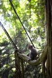 巴厘语短尾猿 库存图片