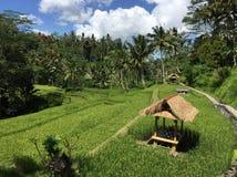巴厘语米领域 免版税库存图片