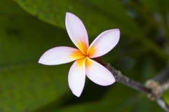 巴厘语美丽的花 免版税库存图片