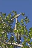 巴哈马群岛的起重机结构树 库存图片