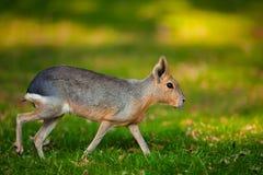 巴塔哥尼亚人的玛拉动物Dolichotis patagonum自然射击有好的模糊的晴朗的背景 库存图片