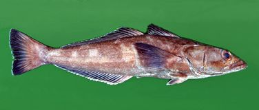巴塔哥尼亚人的toothfish 库存图片
