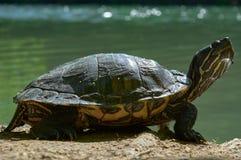 巴尔干池塘乌龟或西部里海乌龟,Mauremys rivulata,休息在河旁边在shunshine在春天 免版税库存图片