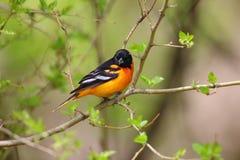 巴尔的摩金莺栖息 免版税图库摄影