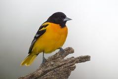 巴尔的摩galbula黄疸北金莺类 免版税库存照片