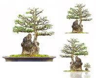 巴布达盆景樱桃核结构树 免版税库存图片