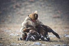 巴彦Oolgii,蒙古- 2017年10月01日:鹫节日 猎人游牧人试图分离两大战斗鹫 免版税图库摄影