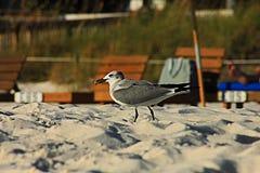巴拿马市在海滩的海滩海鸥 免版税库存照片
