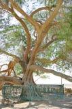 巴林接近的生活树型视图 免版税库存照片