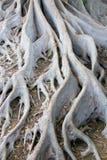 巴波亚公园根源结构树 库存照片