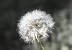 巴约讷公园- DANELION关闭 免版税库存照片
