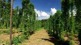 巴西中继字段植物生长在蛇麻草农场的,蛇麻草的种植园 新鲜和成熟蛇麻草准备好收获 影视素材