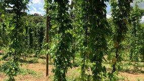 巴西中继字段植物生长在蛇麻草农场的,蛇麻草的种植园 新鲜和成熟蛇麻草准备好收获 股票视频