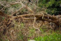 巴西人潘塔纳尔湿地-捷豹汽车 库存图片