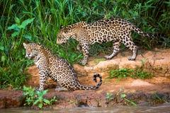 巴西人潘塔纳尔湿地-捷豹汽车 库存照片