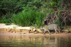 巴西人潘塔纳尔湿地-捷豹汽车 图库摄影
