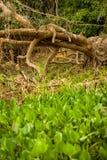 巴西人潘塔纳尔湿地-捷豹汽车 免版税库存图片