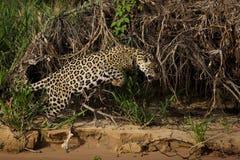 巴西人潘塔纳尔湿地-捷豹汽车 免版税库存照片