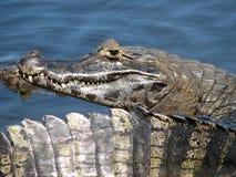 巴西凯门鳄pantanal 免版税库存照片