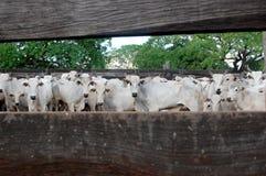 巴西牛经营牧场 库存图片