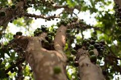 `巴西葡萄` 免版税库存照片