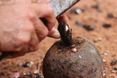 巴西螺母 免版税库存照片