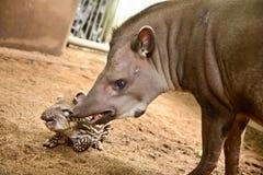 巴西貘 免版税库存照片
