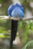 巴西风信花演奏结构树的金刚鹦鹉pantanal 库存图片