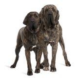 巴西braziliero丝状部分大型猛犬突出 免版税库存照片