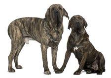 巴西braziliero丝状部分大型猛犬突出 图库摄影