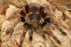 巴西carapoensis nhadu红色塔兰图拉毒蛛 库存照片