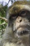 巴贝里猿关闭面孔 库存图片