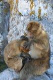 巴贝里猿 库存照片