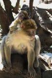 巴贝里短尾猿在树荫下 库存图片