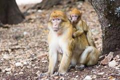 巴贝里短尾猿猴子坐地面在雪松森林里,艾兹鲁,摩洛哥 免版税图库摄影