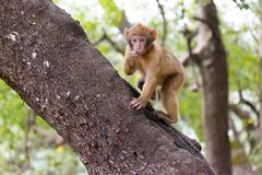 巴贝里短尾猿猴子坐地面在雪松森林里,艾兹鲁,摩洛哥 库存照片
