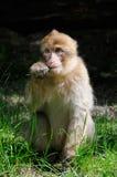 巴贝里短尾猿 库存图片