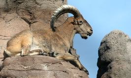 巴贝里绵羊幸福到极点 库存照片
