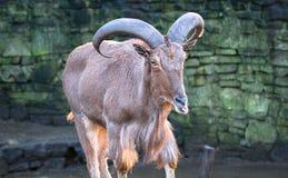 巴贝里绵羊舔它的嘴唇的Ammotragus lervia 免版税图库摄影