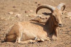 巴贝里绵羊 免版税图库摄影