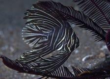 巴达维亚细麟白鲳crinoids构筑的Platax batavianus 库存照片