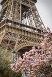 巴黎春天 桃红色木兰和埃佛尔铁塔 库存照片