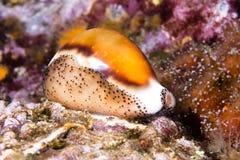 贝币蜗牛 免版税库存图片