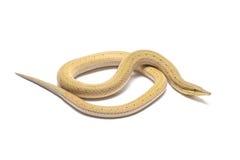 巴布亚蛇蜥蜴(Lialis jicari) 免版税库存照片