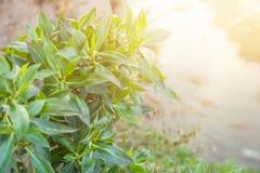 布什分支有年轻绿色叶子的在垂悬在河的早晨金黄阳光下 淡色火光 唤醒春天的自然 免版税库存照片