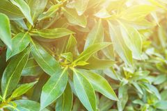 布什分支有年轻绿色叶子的在早晨金黄阳光下 淡色火光 唤醒生气勃勃纯净的春天自然 免版税库存图片