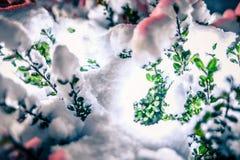 布什在积雪的有雾的圣诞节晚上明亮地发光 免版税库存图片